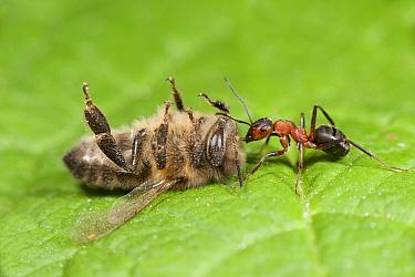 Wood ant (Formica rufa) dragging a dead Honey bee (Apis mellifera), Kent, UK, October.