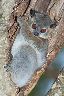 Lesser weasel lemur, (Lepilemur ruficaudatus) sitting in tree, Berenty National Park, Madagascar