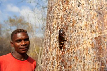 Local man looking at Giant Madagascar hissing cockroach, (Gromphadorina portentosa), on tree trunk, Reniala Nature Reserve, Ifaty, Madagascar