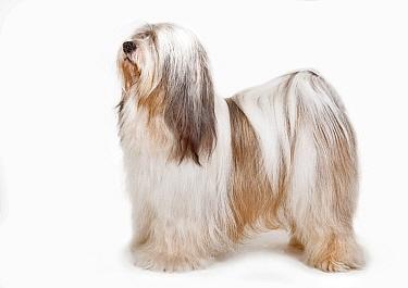 Tibetian terrier dog, standing.
