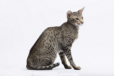 Oriental short hair cat, spotted tabby, sitting.