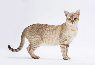 Australian mist cat female, chocolate spotted colour, standing.