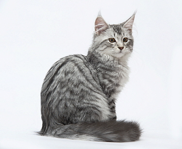 Maine coon, silver mackerel tabby sitting, four and a half months.