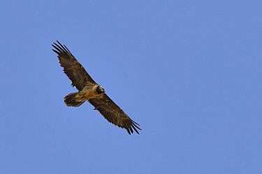 Bearded vulture (Gypaetus barbatus) subadult in flight, Hemis NP, Ladakh, India