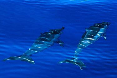 Spinner dolphins (Stenella longirostris) swimming just below surface, Aldabra Atoll, Seychelles, Indian Ocean