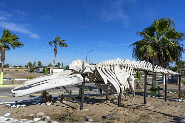 Skeleton of Grey whale (Eschrichtius robustus) at the entrance of San Carlos, also known as Puerto San Carlos, a fishing community facing the Pacific Ocean. Magdalena Bay, Baja California, Mexico.