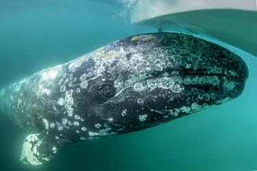 Grey whale (Eschrichtius robustus) underwater under the boat, Magdalena Bay, Baja California, Mexico.