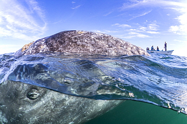 Grey whale (Eschrichtius robustus) surfacing next to whale-watching boat with tourists. Magdalena Bay, Baja California, Mexico.