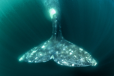 Tail of Grey whale (Eschrichtius robustus) underwater, Magdalena Bay, Baja California, Mexico.
