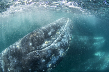 Grey whale (Eschrichtius robustus) underwater upside down, Magdalena Bay, Baja California, Mexico.