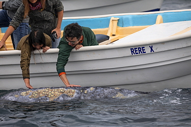 Gray whale (Eschrichtius robustus), approaches boat and allowing people to stroke it, Magdalena Bay, Baja California, Mexico.