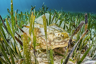 Yellow stingray (Urobatis jamaicensis) hiding in Turtlegrass (Thalassia testudinum) seagrass bed. The Bahamas.