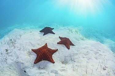 Red cushion sea star (Oreaster reticulatus), three on sand in Seagrass bed. The Bahamas.