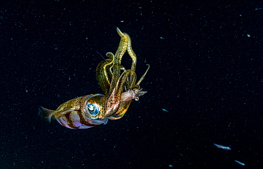 Caribbean reef squid (Sepioteuthis sepioidea) feeding on Shrimp at night. The Bahamas.