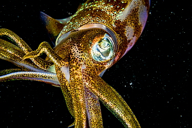 Caribbean reef squid (Sepioteuthis sepioidea) at night, portrait. The Bahamas.