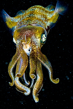 Caribbean reef squid (Sepioteuthis sepioidea) eating fish at night, portrait. The Bahamas.