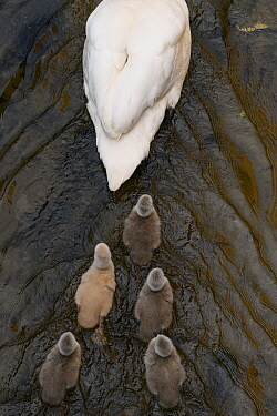 Mute swan (Cygnus olor) cygnets following parent swimming. London, UK. April. Highly commended in the birds category of GDT European Wildlife Photographer of the Year Competition 2020.