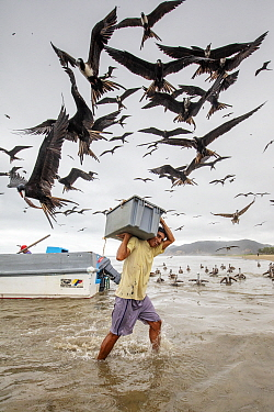 Magnificent frigatebirds (Fregata magnificens) stealing fish from man carrying crate of fish, Puerto Lopez, Ecuador. Highly commended in the Garden and Urban Birds Category of the Bird photographer of...