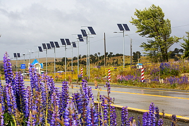 Street lights on roadside powered by photovoltaic panels, Lupin (Lupinus sp) flowering in foreground. Between Punta Arenas and Puerto Natales, Magallanes, Chile. January 2020.