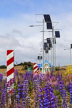 Lupin (Lupinus sp) flowering beneath photovoltaic panels on roadside, between Punta Arenas and Puerto Natales, Magallanes, Chile. January 2020.