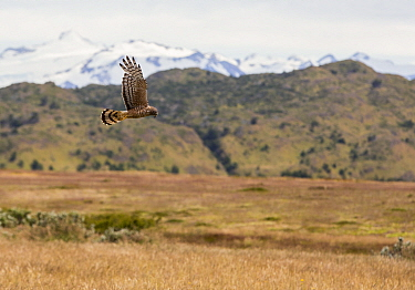 Cinereous harrier (Circus cinereus) in flight, hunting over grassland. Torres del Paine National Park, Patagonia, Chile. January 2020.