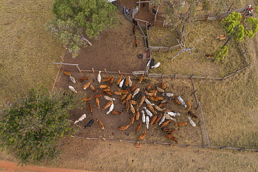 Cattle herded into pen in outback, aerial view. Pinnarendi Station, Tropical North Queensland, Australia. 2017.