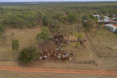 Aerial view of cattle herded into pens in outback, forest in background. Pinnarendi Station, Tropical North Queensland, Australia. 2017.