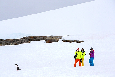 Tourists from expedition cruise ship walking across snow beside Gentoo penguin (Pygoscelis papua). Petermann Island, Wilhelm Archipelago, Antarctica. December 2019.