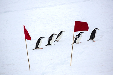 Chinstrap penguin (Pygoscelis antarcticus) group walking across snow, between red flags marking a route for tourists from expedition ship to follow. Palava Point, Two Hummock Island, Palmer Archipelag...