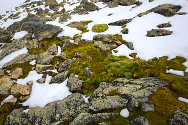 Moss and Lichen covered rocks revealed beneath melting snow. Palava Point, Two Hummock Island, Palmer Archipelago, Antarctica. December.