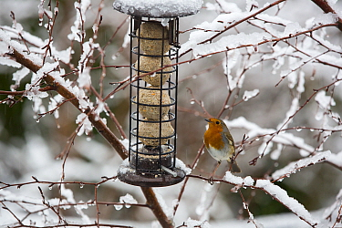 Robin (Erithacus rubecula) at feeder in garden, perched on snow covered branches. Ambleside, Lake District National Park, England, UK. February 2020.