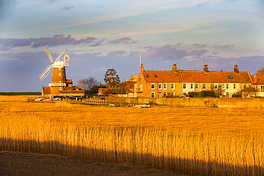 Windmill and houses in village viewed across Common reed (Phragmites australis) reedbed, in evening light. Cley, Norfolk, England, UK. March 2020.