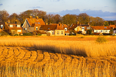 Common reed (Phragmites australis) reedbed partly harvested, in evening light, village of Cley in background. Norfolk, England, UK. March 2020.