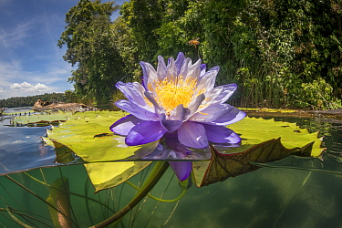 Australian water-lily (Nymphaea gigantea), split level image. Lake Barrine, Crater Lakes National Park, Wet Tropics of Queensland, Australia.