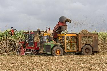 Sugar cane (Saccharum officinarum) harvest with combine harvester. Queensland, Australia. September 2016.