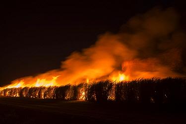 Fire in sugar cane (Saccharum officinarum) crop at night, burning makes crop easier to harvest. Mareeba, Far North Queensland, Australia. 2016.