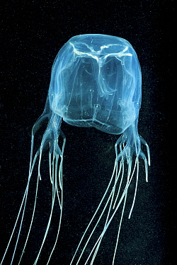 Box jellyfish (Chironex fleckeri). Far North Queensland, Australia.