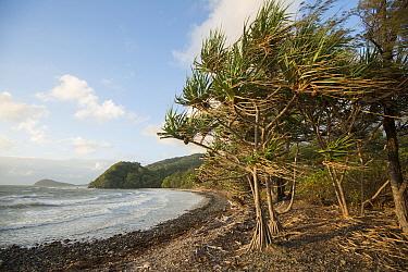 Pandanus palm (Pandanus sp) trees, windswept on beach. Cape Tribulation, Far North Queensland, Australia. 2012.