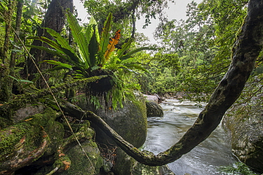 Bird's nest fern (Asplenium australasicum) and liana amongst boulders on river bank. Mossman Gorge, Daintree Rainforest, Wet Tropics of Queensland, Australia. 2014.