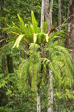 Bird's nest fern (Asplenium nidus) growing on tree trunk. Daintree Rainforest, Wet Tropics of Queensland, Australia.