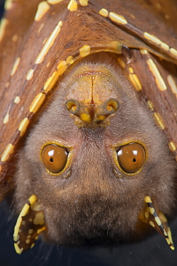 Eastern tube-nosed bat (Nyctimene robinsoni), portrait. Tolga Bat Hospital, Atherton Tablelands, Far North Queensland, Australia. Captive.