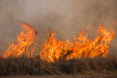 Flames arising from open burning in agricultural field to clear ground before sowing new crop. The burning creates large amounts of black carbon particles and reduces soil fertility. Mareeba, Far Nort...