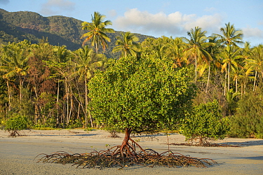 Mangrove trees with propagules (seeds) and aerial roots on beach at low tide. Coconut trees (Cocos nucifera) along coastline. Daintree National Park, Wet Tropics of Queensland, Australia. 2014.
