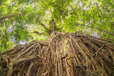 White fig (Ficus virens) tree known as Cathedral Fig aged 500 years, view from below of aerial roots looking towards canopy. Danbulla National Park and State Forest, Atherton Tablelands, Queensland, A...