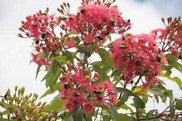 Christmas beetle (Anoplognathus sp) group feeding on flowering Gum tree (Eucalypteae). Far North Queensland, Australia.