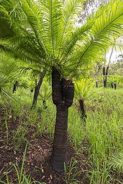 Cycad (Cycas media) field. Far North Queensland, Australia.