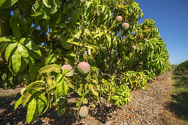 Mango orchard with varieties such as Kensington Pride, R2E2 and Brooke. Atherton Tablelands, Queensland, Australia.