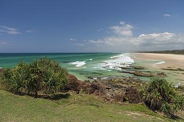 Pandanus palm (Pandanus sp) trees on coast above sandy beach. Near Fingal Head, Northern Rivers, New South Wales, Australia. 2018.