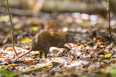 Musky rat-kangaroo (Hypsiprymnodon moschatus) in leaf litter. Queensland, Australia.