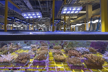 Coral native to Great Barrier Reef inside experiment tank at National Sea Simulator, biologist in background. Australian Institute of Marine Science where impacts of complex environmental changes are...